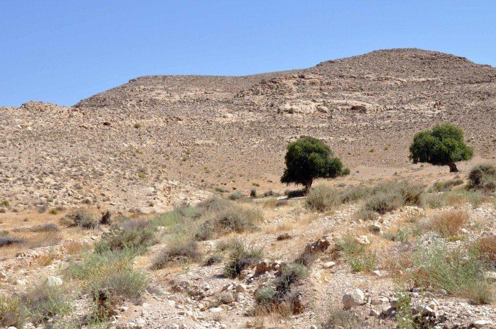 פלא בוטני - אלות אטלנטיות בהר הנגב
