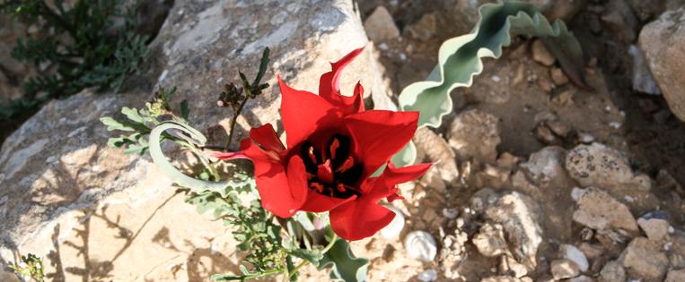 desert-tulip