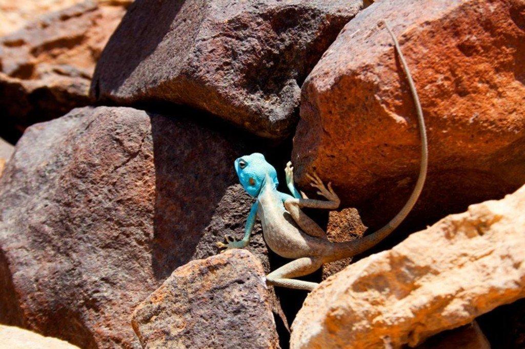 חרדון סיני על הר כרכום - צילם: עזרי קידר